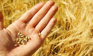 Xuất khẩu lúa mì từ Australia sang Trung Quốc tăng trưởng