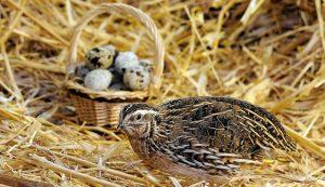Bạn có ý định nuôi chim cút siêu trứng? Bài viết này dành cho bạn