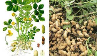 Bệnh chết nhát: người trồng lạc có biết cách điều trị?