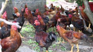 cầu trùng ở gà