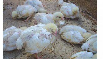 Bệnh ỉa phân trắng ở gà và những điều cần biết