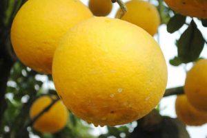quả bưởi diễn có màu vàng khi chín