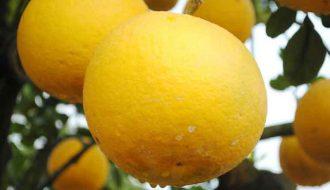 Bí kíp trồng bưởi diễn đúng khoa học cho người nông dân