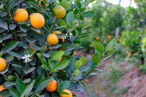trồng quất dịp Tết giúp kiếm thêm thu nhập