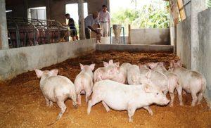 nuôi lợn theo phương pháp hiện đại đệm lót sinh học
