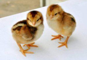 cách điều trị khô chân ở gà