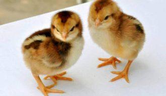 Cách điều trị bệnh khô chân ở gà con bà con nên nhớ