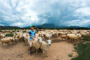 cừu lai Ninh Thuận được ưu tiên nhiều nhất