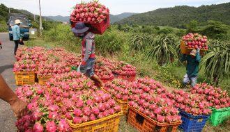 Cận Tết Nguyên Đán giá thanh long giảm mạnh khiến nông dân điêu đứng