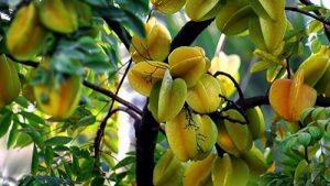 Phương pháp trồng cây khế ngọt cho ra nhiều quả dành cho bạn