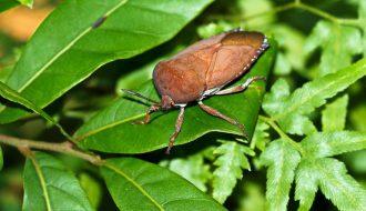 [Phòng bệnh cây trồng] Chống bọ xít gây hại cho cây vải