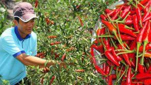 Giá ớt cay tăng cao kỷ lục