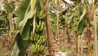 Gợi ý phương pháp trồng giống chuối lùn cho người nông dân