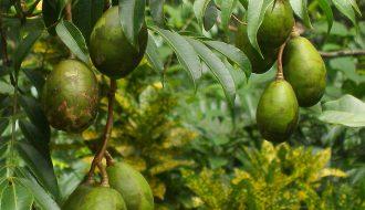 Hãy cùng tìm hiểu về loại trái cây đặc sản đất nước Indonesia