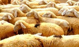 cách chăn nuôi cừu mang lại hiệu quả kinh tế tốt