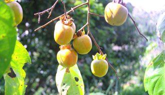Hồng rụng quả: lý do và cách chăm cây mà người nông dân cần nắm vững