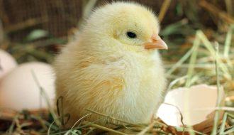 Hướng dẫn cách nuôi gà con có tiền đề phát triển tốt