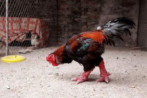 Hướng dẫn cách nuôi gà Đông Tảo trong giai đoạn đầu