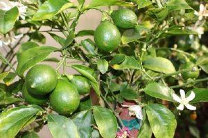 cây chanh trồng nhiều ở gia đình