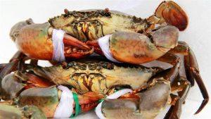 Mô hình nuôi cua biển mang lại giá trị kinh tế cao