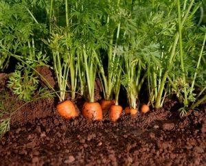 Kỹ thuật trồng cà rốt tại nhà siêu đơn giản và nhanh chóng