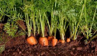 Hướng dẫn trồng cà rốt tại nhà siêu đơn giản và nhanh chóng