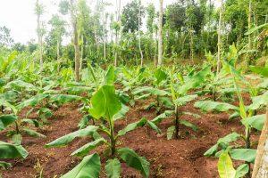 Phương pháp trồng cây chuối lùn đem lại năng suất cao cho bà con nông dân