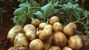 Phương pháp trồng khoai tây vụ đông đem lại thu nhập cao