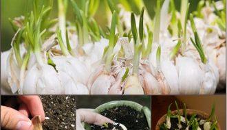 Hướng dẫn trồng tỏi tại nhà bằng thùng xốp nhanh chóng