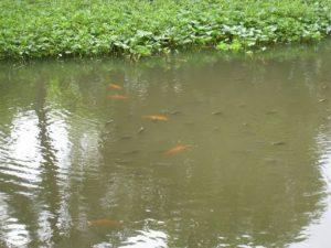 Môi trường nuôi cần phải đảm bảo thích hợp với hoạt động sống của cá nuôi