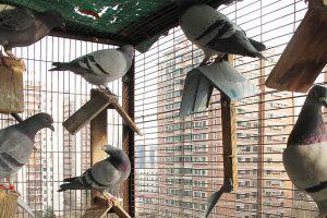 Phương pháp nuôi chim bồ câu giúp bà con nông dân giàu lên nhanh chóng