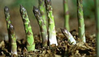 Kỹ thuật trồng măng tây đơn giản nhưng đem lại hiệu quả cao chỉ bằng thùng xốp