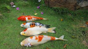 Lernaea ký sinh trên nhiều loài cá nuôi nước ngọt của nhiều nước trên thế giới