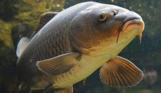 Làm thế nào để giúp người nuôi phòng bệnh virus mùa xuân ở cá chép?