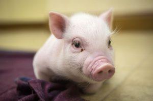 Việc nuôi lợn con cũng rất phức tạp