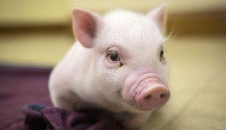 Làm thế nào để nuôi dưỡng lợn con theo cách tốt nhất?