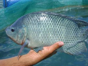 Trùng hình mỏ neo ký sinh trên cơ thể làm cá ngứa ngáy, khó chịu