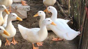 Lên kế hoạch nuôi vịt đẻ trứng cần chú ý những điều gì?