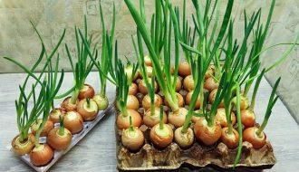 Mách bạn mẹo trồng hành tây siêu đơn giản trong chậu nhưng lại đạt năng suất cao