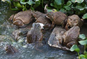 Phương pháp nuôi ếch đạt hiệu quả kinh tế cao