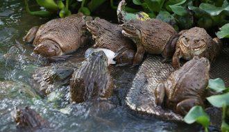 Mô hình nuôi ếch trong ruộng lúa tạo điều kiện cho ếch sinh trưởng tốt
