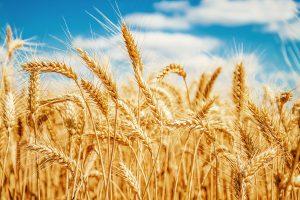 Brazil hướng tới trở thành nước xuất khẩu lúa mỳ hàng đầu