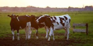 Những điểm mấu chốt cần biết trong chăn nuôi bò sữa