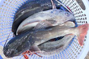 Cá trê là loài cá rất dễ cá rất dễ nuôi và dễ sinh trưởng