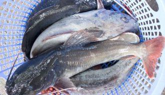 Những loại thức ăn phù hợp cần lưu ý cho sự phát triển của cá trê