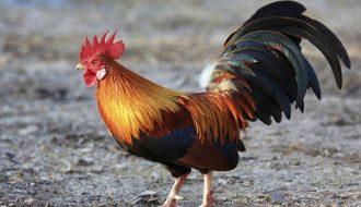 Những lưu lý khi chăm sóc gà con tránh mắc dịch bệnh