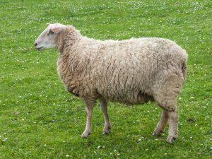 Nuôi cừu cần có kiến thức lẫn kinh nghiệm