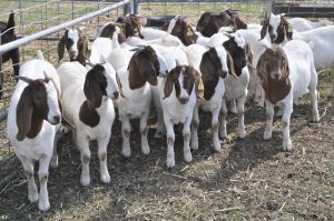 Trong chăn nuôi dê, khó khăn nhất chính là giai đoạn hậu bị giống