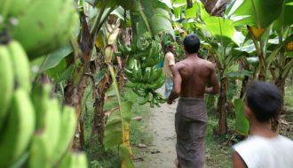 Panama: căn bệnh thường gặp ở chuối