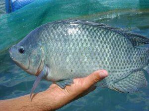 Cá rô đồng là loại cá phổ biến trong các bữa ăn gia đình Việt